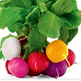 Radish Mix Color Easter Egg Around 250 Seeds