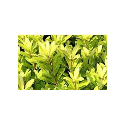 (3 Gallon) Florida Sunshine - Year-Round Glowing Light Green Leaves, Wonderfully Licorice Scent. : Garden & Outdoor