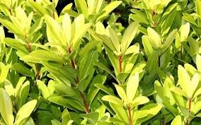 (Pack of 10) Florida Sunshine (Anise/Ocala Yellow Star) - Year-Round Glowing Light Green Leaves, Wonderfully Licorice Scent. Quart Size 7' Round Plastic Pot