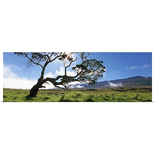 GREATBIGCANVAS Poster Print Entitled Koa Tree on a Landscape, Mauna Kea, Big Island, Hawaii by 60