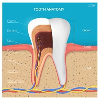 Amazon.com: Human Tooth Anatomy Cross Section Educational ...