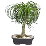 Live 12'' Ponytail Bonsai Tree