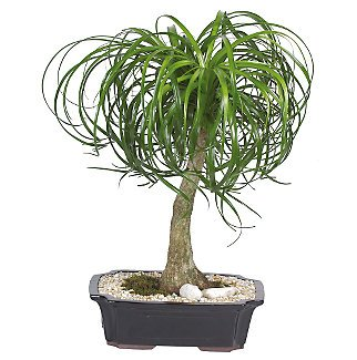 Live 12'' Ponytail Bonsai Tree by indoorbonsa exotics