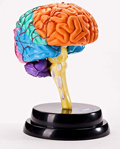 Brain Professional Suits Human Brain Model Assembly Teaching Children's Student Science Teaching Aids