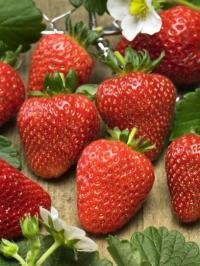 75 Stratified Sarian Strawberry Seeds - My Secret Gardens