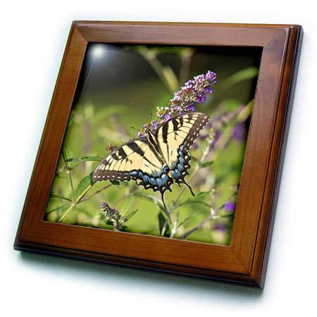 - 3dRose Danita Delimont - Butterflies - Eastern Tiger Swallowtail on Butterfly Bush, Illinois - 8x8 Framed Tile (ft_314820_1)