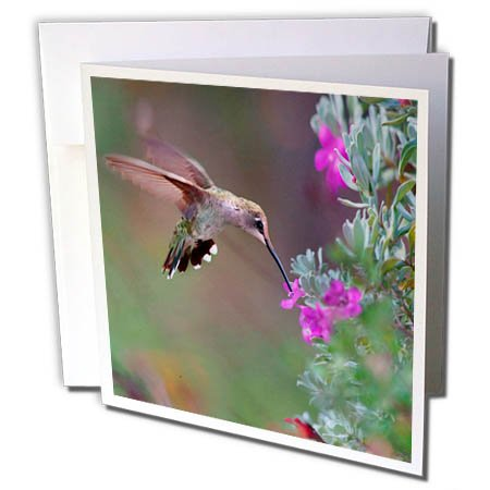 3dRose Danita Delimont - Hummingbirds - Female Ruby-throated Hummingbird drinking nectar, Texas, USA - 12 Greeting Cards with envelopes - Nectar Female