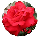 Grande Amore Rose Bush Repeat Blooming Red Rose - Grown Organic Potted Own Root - Stargazer Perennials