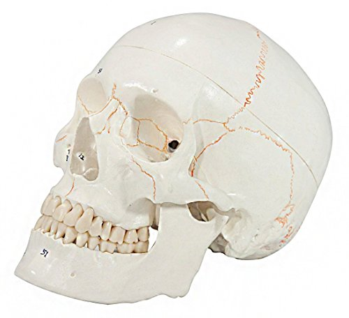 axis-scientific-3-part-life-size-numbered-human-skull-with-removable-calvarium-includes-detailed-pr