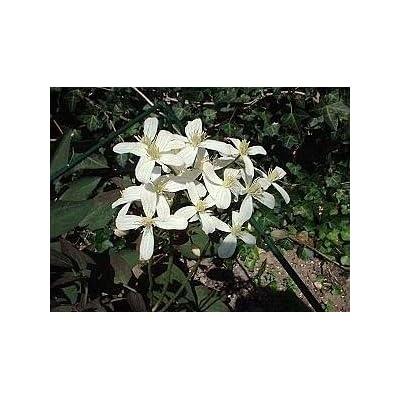 Vanilla Scented Clematis 15 Seeds -Clematis recta : Flowering Plants : Garden & Outdoor