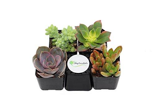 shop-succulents-unique-succulent-collection-of-4