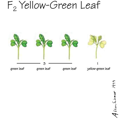 Brassica rapa Wisconsin Fast Plants, F2 Yellow-Green Leaf Seed, Pack of 250 ()
