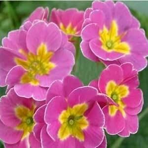 UR Gardening Seeds Polyantha Victorian Laced Primula Primrose Mix Flower Pacific Giants
