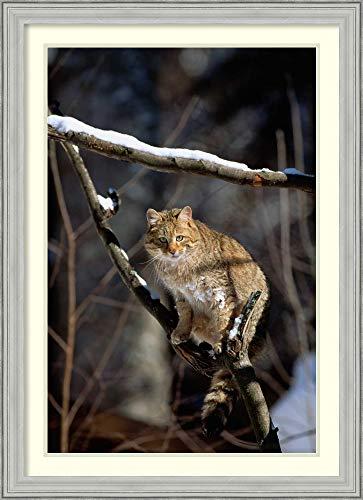 Framed Wall Art Print Wild Cat on Tree Branch, Germany by Konrad Wothe 26.75 x 36.88