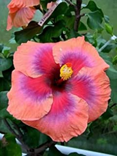 Vin Extraordinaire Dinner-plate Hibiscus (15+ Seeds) & Amazon.com | *RARE* GIANT TEXAS STAR HIBISCUS*