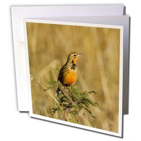 Danita Delimont - Birds - Rosy-breasted Longclaw bird, Maasai Mara Kenya-AF21 JRE0330 - Joe Restuccia III - 12 Greeting Cards with envelopes (gc_70503_2)