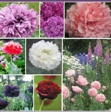 (100 Double Poppy Peony Mix Flower Seeds Fresh Seed)