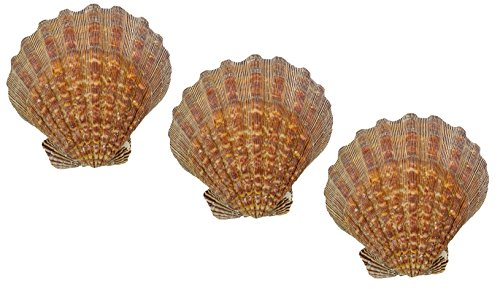 US Shell, 3 Piece, Lion's Paw Sea Shell, 13 to 15 Centimeter Size