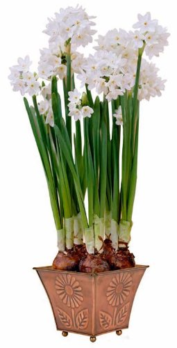 Square Planter Paperwhite Ziva 5 Bulbs