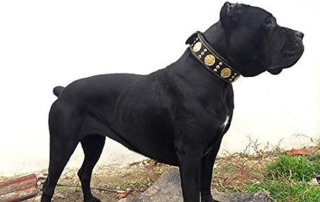 Bestia Maximus de Piel Collar de Perro, Las Razas Grandes: Amazon ...