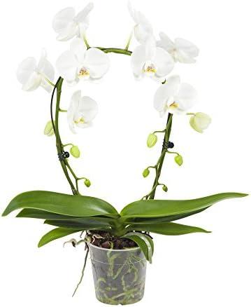 Fiori Orchidea Bianchi.Orchidea Da Botanicly Orchidea Farfalla Altezza 45 Cm 2