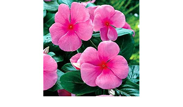 Amazon Park Seed Pacifica Punch Hybrid Vinca Flower Seeds