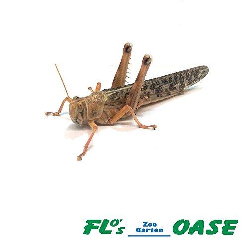 Heuschrecken Wüstenheuschrecken adult 10 Stück Dose Futterinsekten Reptilienfutter Futtertiere Flos-Oase
