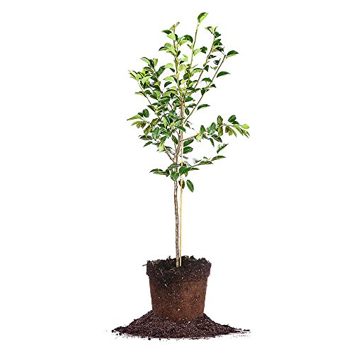 HOOD PEAR TREE - Size: 5-6 ft, live plant, includes special blend fertilizer & planting guide by PERFECT PLANTS