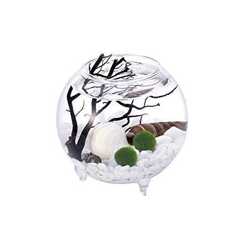 Desktop mini aquarium - 2 inch large opening footed glass vase with black fan coral, living marimo ball, white chip gravels and shells