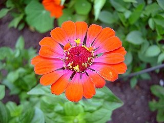 50+ Whirligig Bi-color Zinnia Mix Flower Seeds