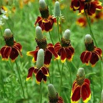1,500 MEXICAN HAT CONEFLOWER RED PRAIRIE Flower Seeds Zones: 3-9 by Seeds and Things
