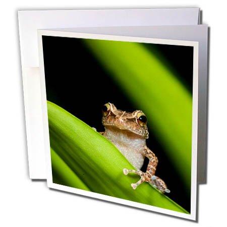 3dRose Danita Delimont - Frogs - Common coqui on bromeliad leaf, El Verde, El Yunque NF, Puerto Rico - 6 Greeting Cards with envelopes (gc_277166_1)