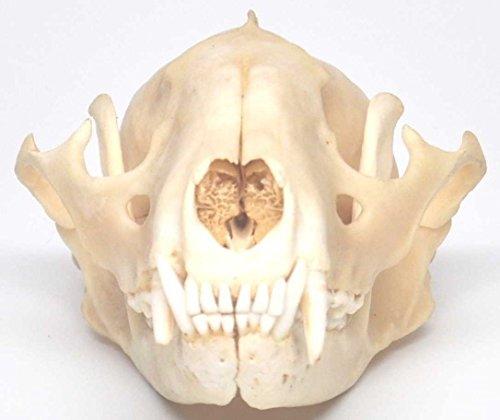 Raccoon Skull Taxidermy - Import It All