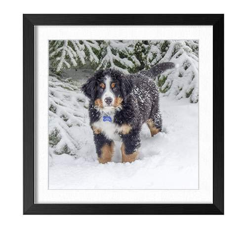 YENOYE-SM Bernese Mountain Dog Snow - Picture Art Print Black Wooden Frame Framed Posters Home Deco 16x16in ()