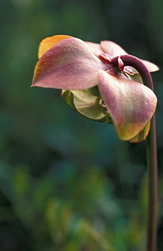 Flowering Pitcher Plant in a Bog, Cherry Pond, Jefferson, New Hampshire by Jerry & Marcy Monkman/Danita Delimont Art Print, 25 x 38 inches ()