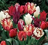SILKSART 50 Nice Bulbs! Tulip Bulbs early bloom Perennial Bulbs for Garden Planting Beautiful Flower--SHIPPING NOW!!!