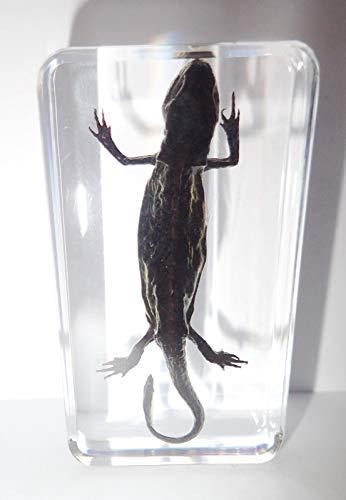 (Salamander Specimen Oriental Fire Belly Newt in Clear Block Education Aid)