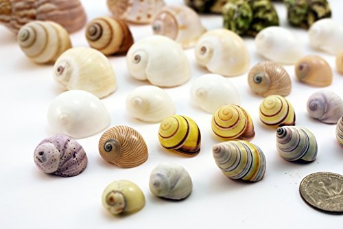 Select-35-Hermit-Crab-Shells-Assorted-Changing-Seashells-SMALL-12-2-Size-opening-size-14-1-Beautiful