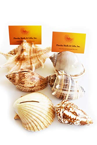 Set of 36 Genuine Seashell Place Card Holders Beach Wedding Favor Nautical Party Decor Sea Shell Table Sets