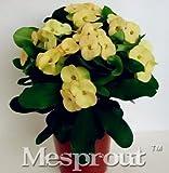 New Euphorbia Milii Hybrid Mix Middle 100+ seeds - 7