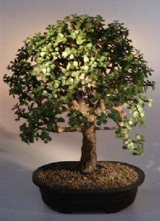 Baby Jade Bonsai Tree.(Portulacaria Afra)