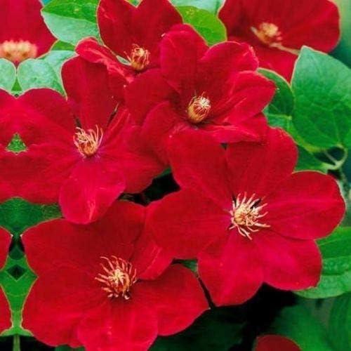 25 rojo brillante Clematis Seeds grande Bloom trepadora perenne del jardín de flores: Amazon.es: Jardín