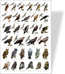 Birds Of Prey Educational Poster 32 Eu Buy Online In Cambodia At Desertcart