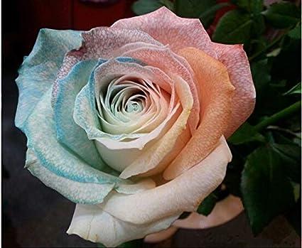 Raras Semillas Multicolores Multicolor Trinidad Hong Crack Rose / 200 Unid.Las flores más fragantes de la casa 2017