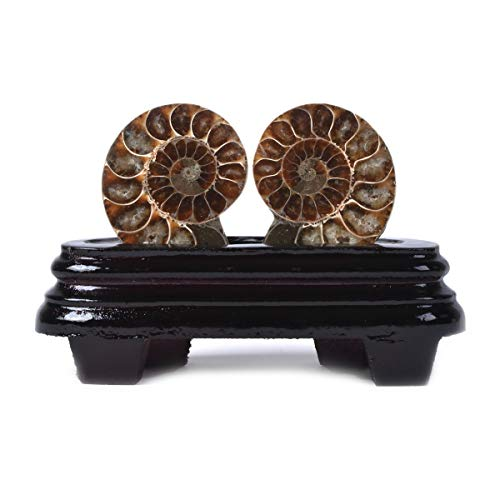 JUST IN STONES Natural Ammonite Pair Fossil Stone Specimen with Wood Stand Madagascar