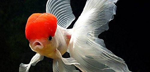WorldwideTropicals Live Freshwater Aquarium Fish - 3.5-4