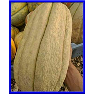 Toyensnow - Old TYME Tennessee Cantaloupe - Loads of Huge Oblong Fruit (15 Seeds) : Garden & Outdoor