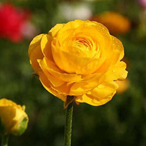 Elever 50pcs Persian Buttercup Seeds Ranunculus Asiaticus Flower Seeds Home Garden Flowers