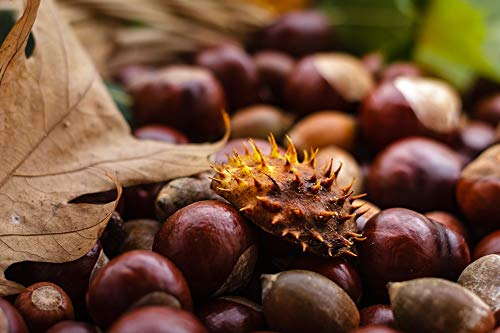 Home Comforts Peel-n-Stick Poster of Castanea Fruit Chestnut Nature Autumn Brown Shiny Vivid Imagery Poster 24 x 16 Adhesive Sticker Poster Print