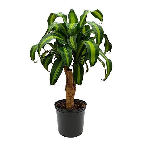 "AMERICAN PLANT EXCHANGE Dracaena Massangeana Corn, Worry Free Live Plant, 6"" Pot, Indoor/Outdoor Air Purifier"